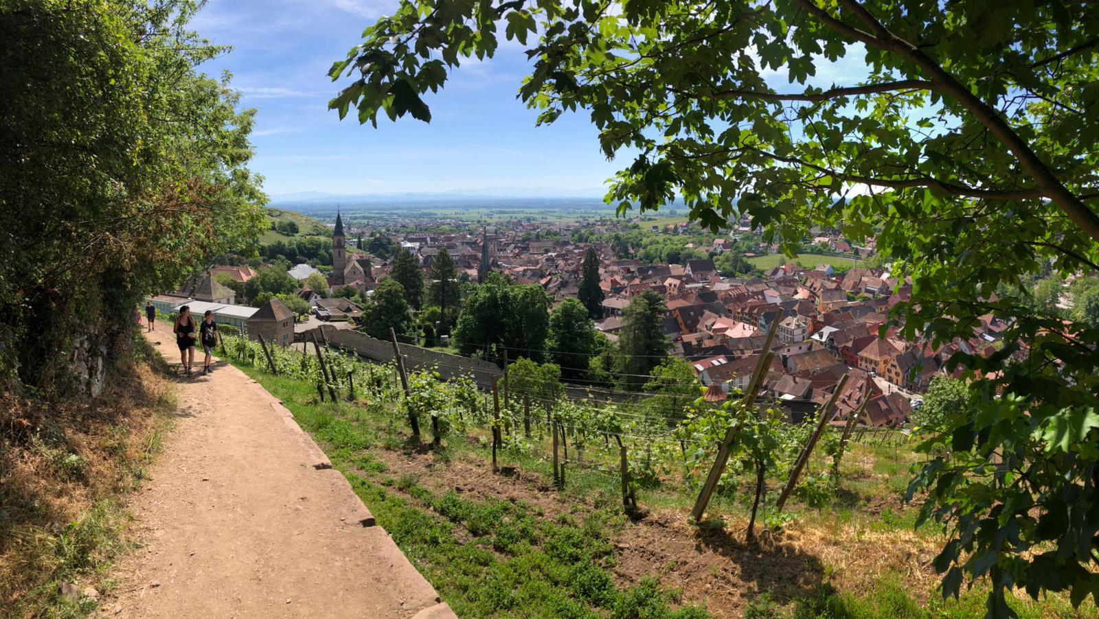 Weg in den Weinbergen über Ribeauvillé
