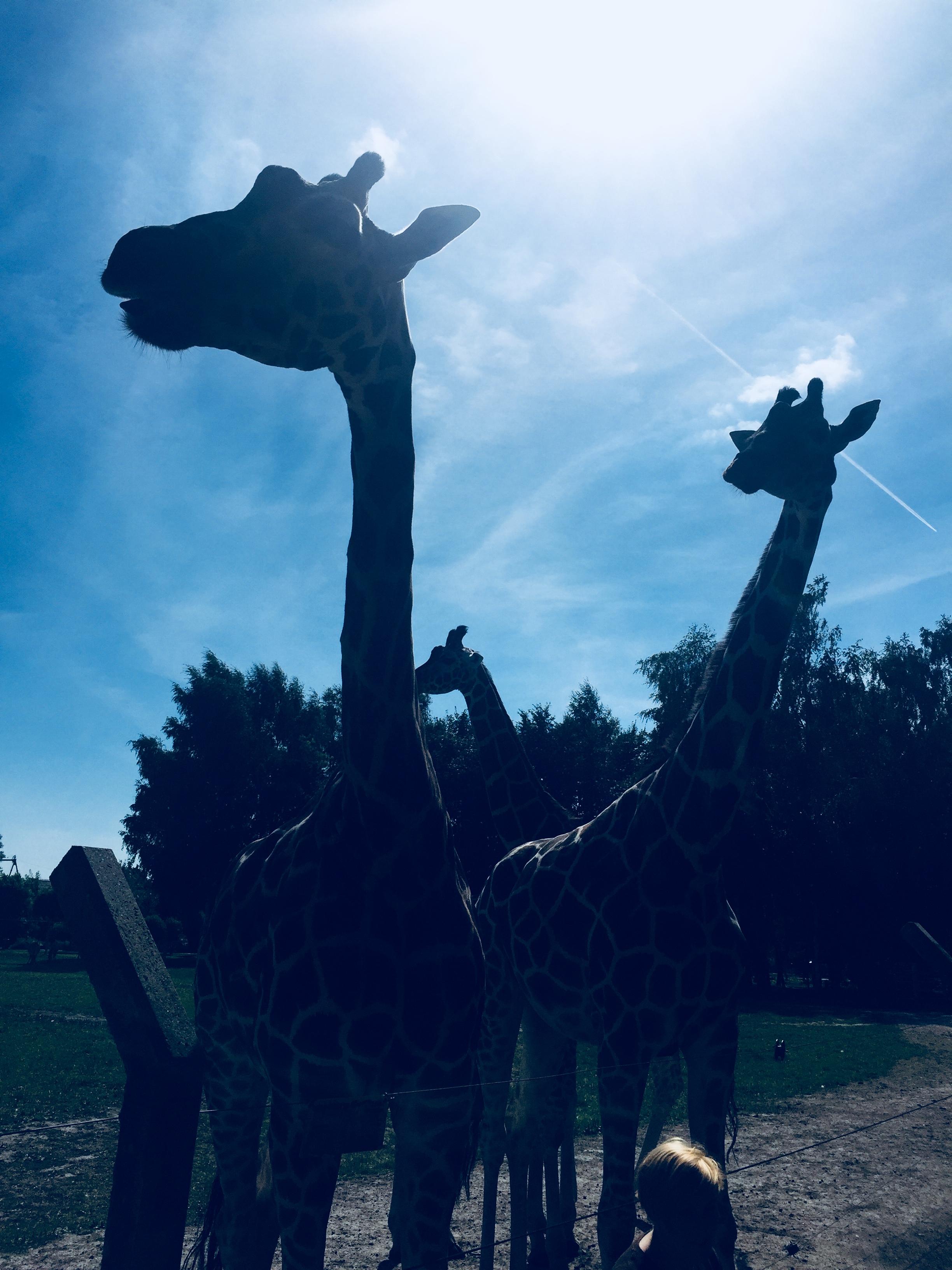 Giraffen im Jaderpark
