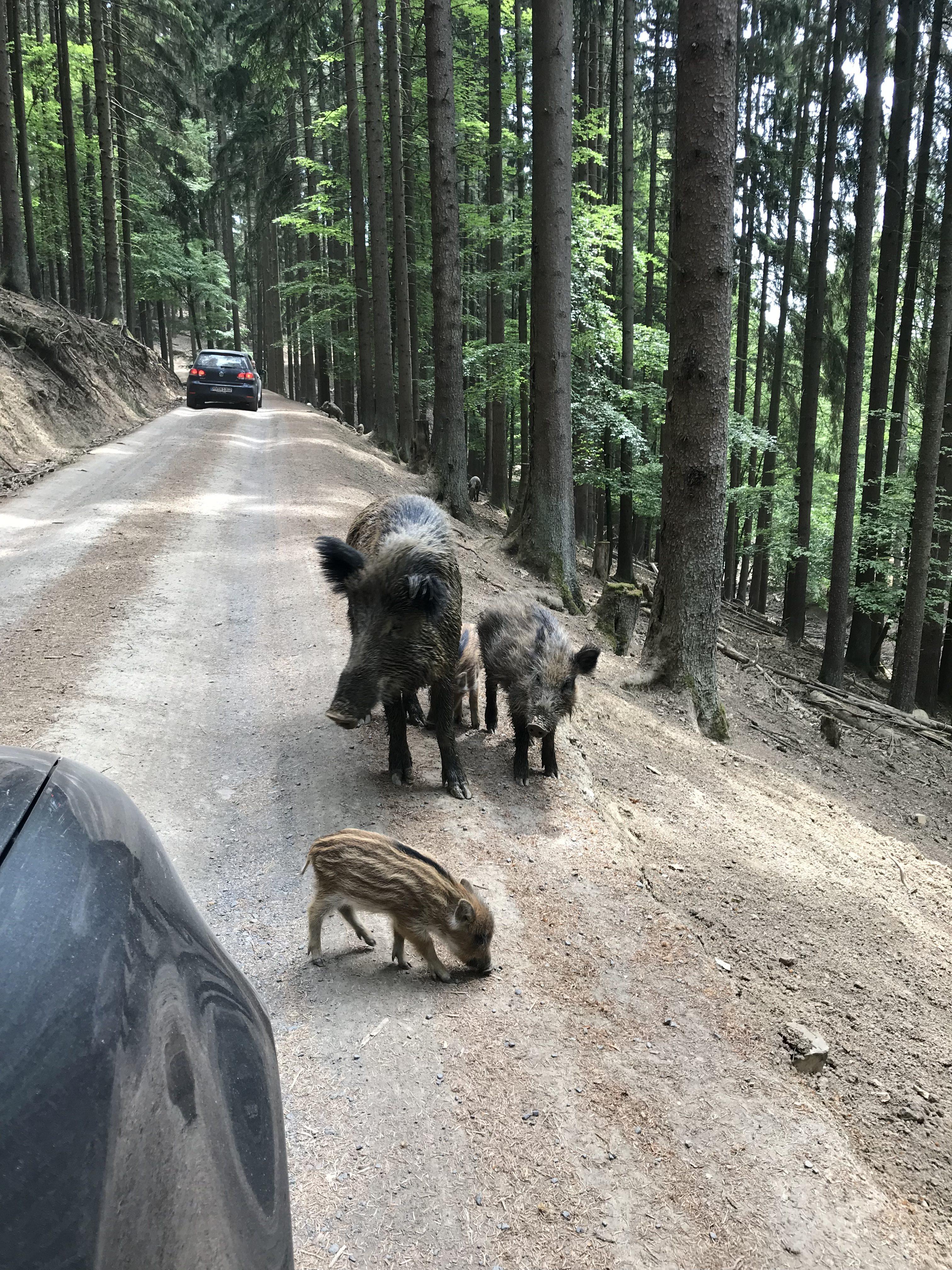 Wildschweine auf der Fahrbahn