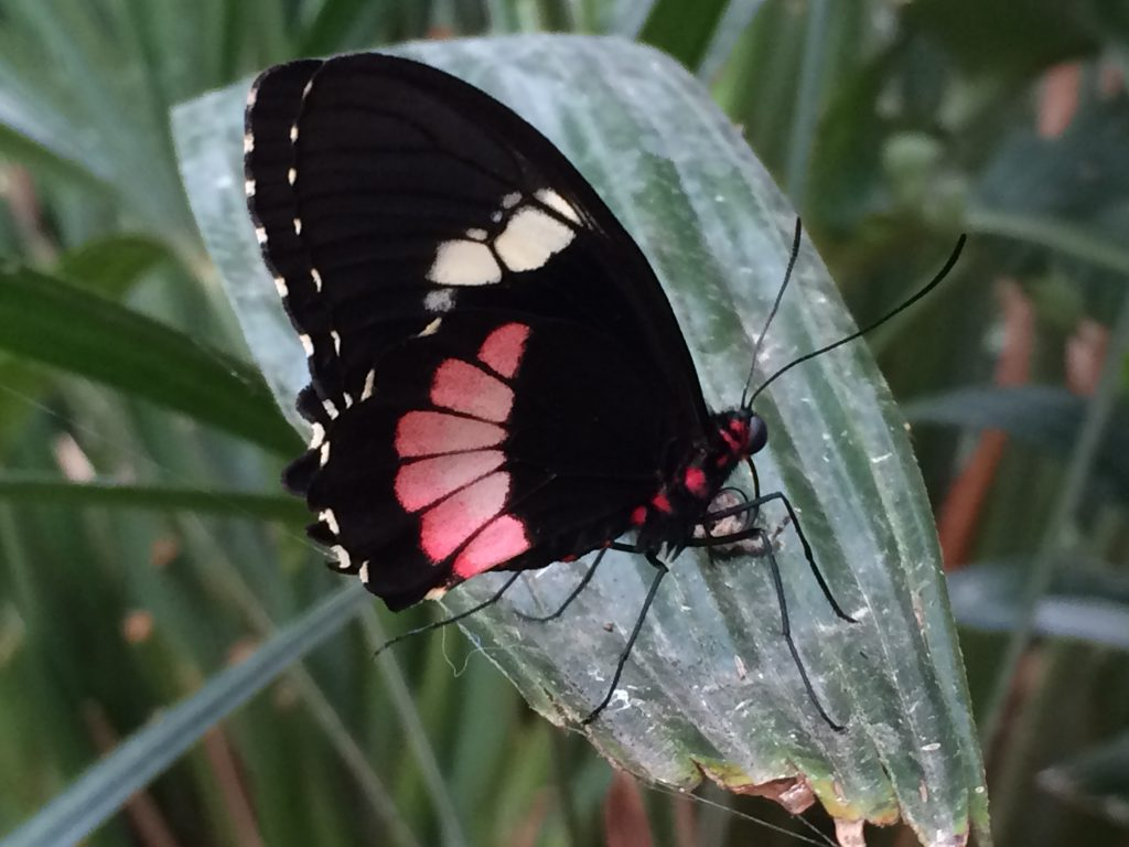 Schmetterling im Butterfly Gardens im Elsass