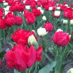 rot-weißes Feld aus Tulpen in Keukenhof, Lisse