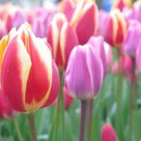 wunderschöne bunte Tulpen in Holland