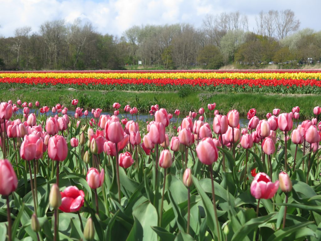 bunte Tulpenfelder in Lisse, Holland