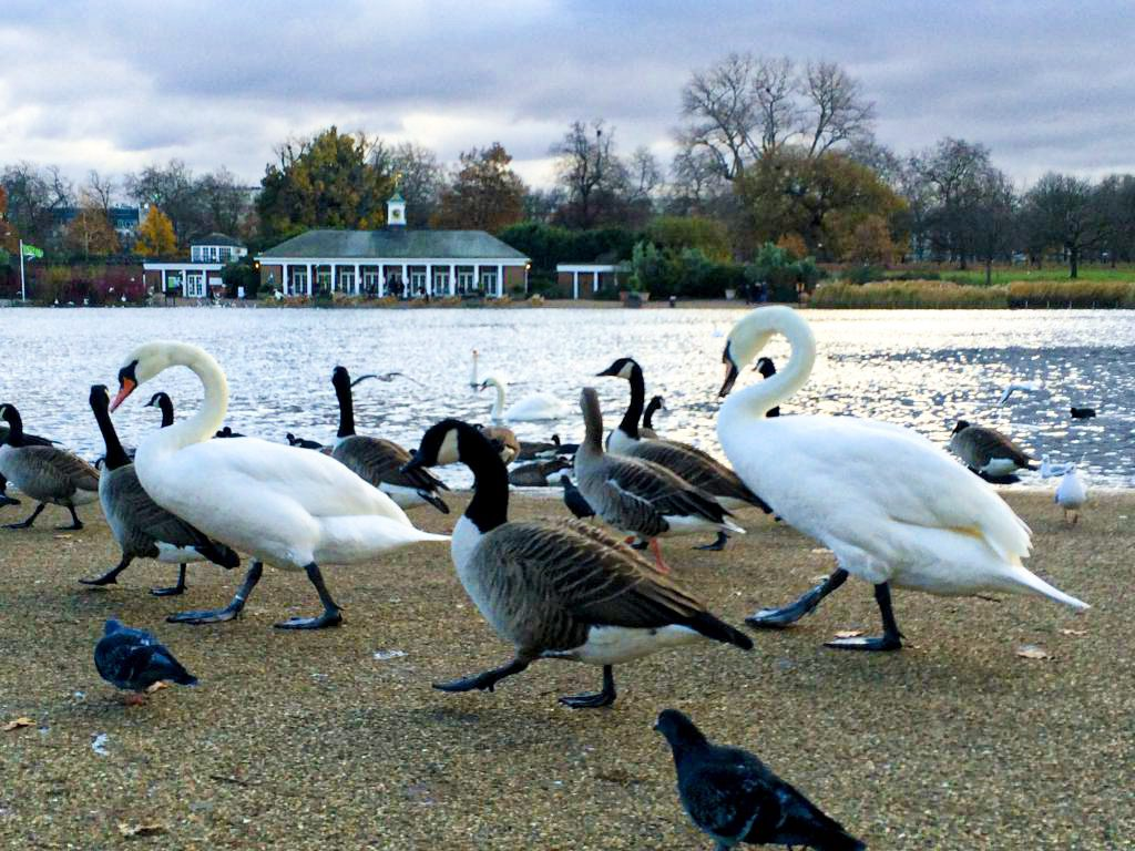 Schwäne und Gänse in den Parks von London