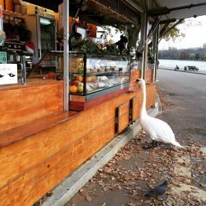 Ein hungriger Schwan vor einem Imbiss im Hyde Park London